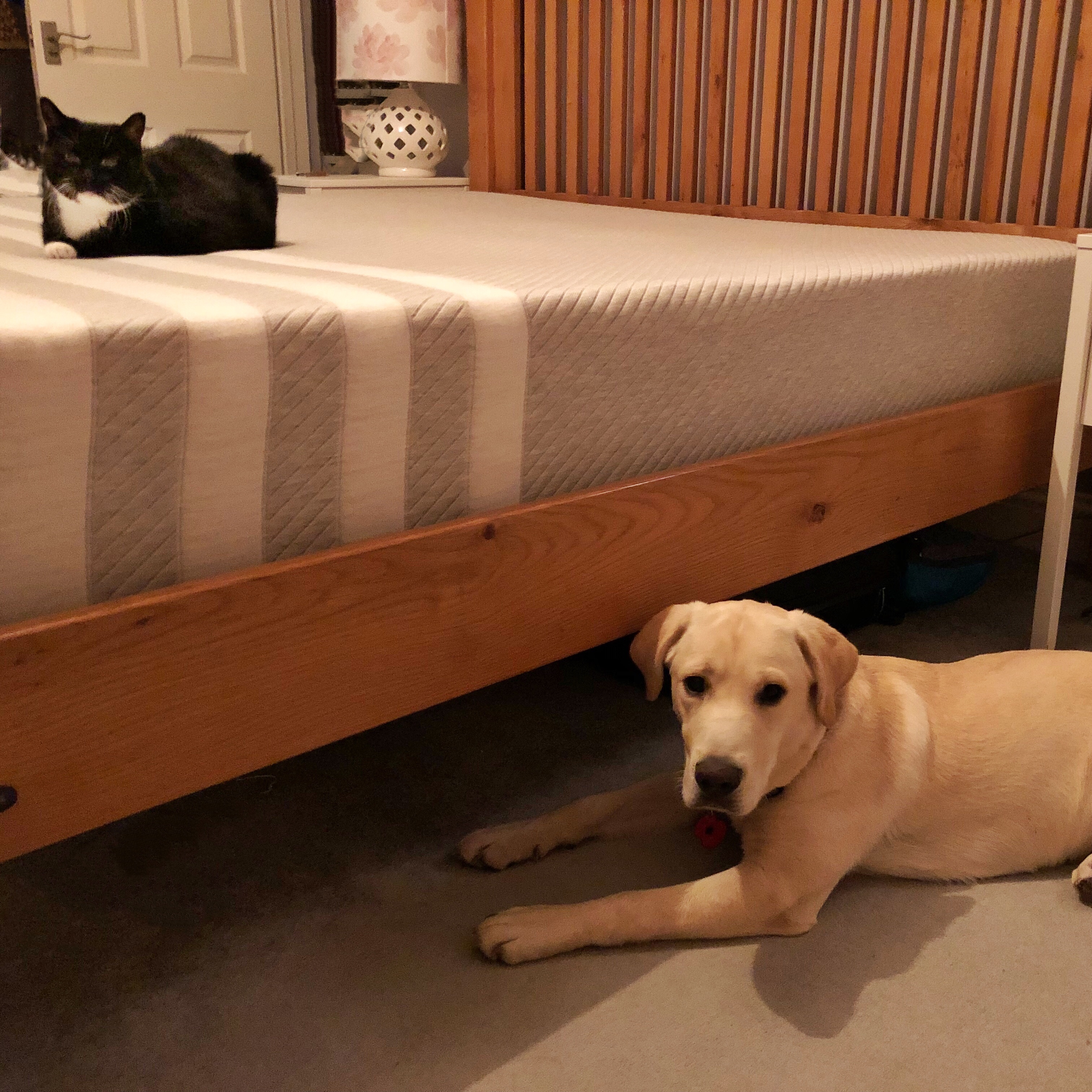 A few of our wooden frame bed from the side and our very haughty looking black and white cat sitting happily on our Leesa Mattress and our dog Hendrix on the floor looking ever so put out at not being allowed on the bed!
