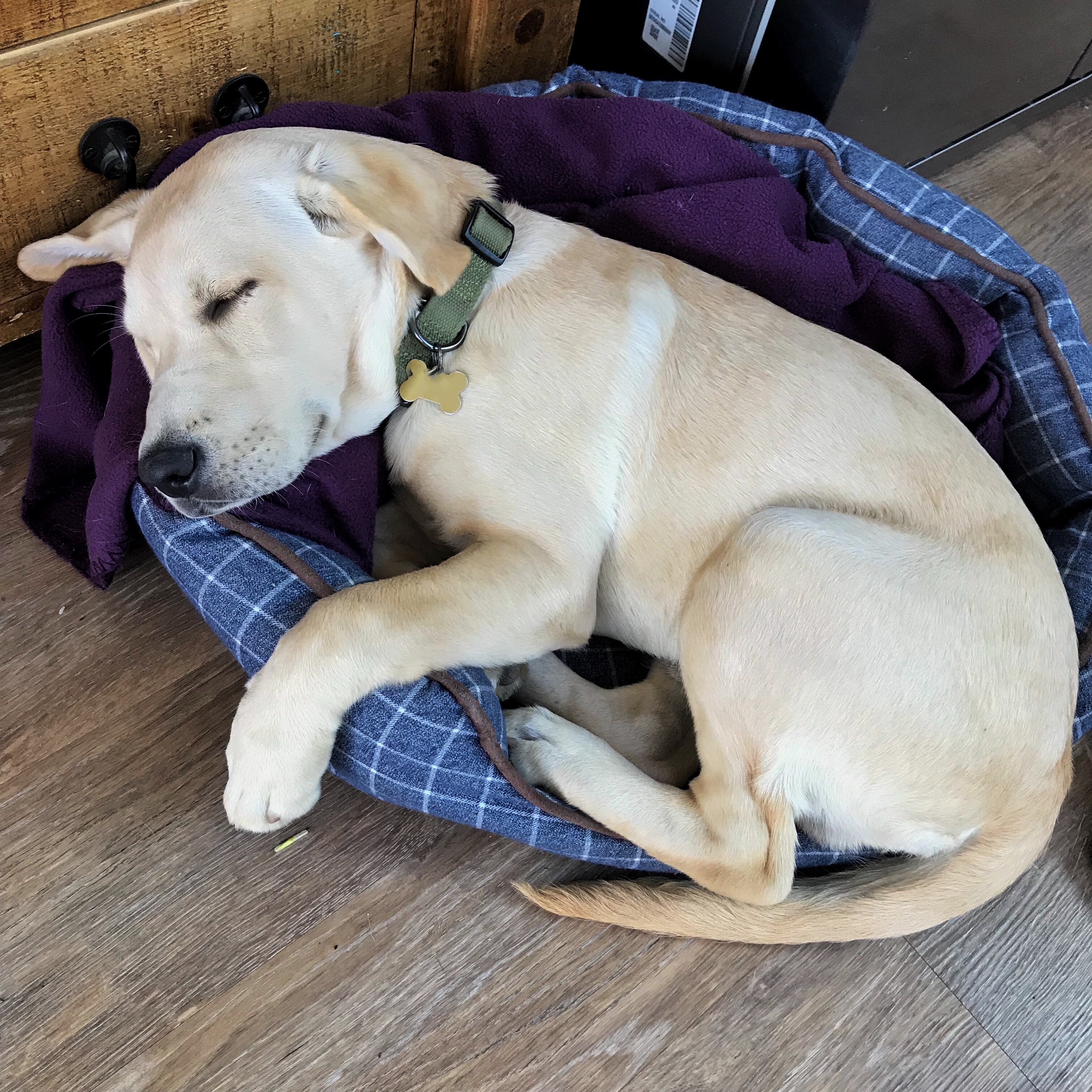 Choosing a puppy, A slightly bigger yellow labrador puppy Hendrix in his blue checked bed with his paws and bottom over hanging as he's too big!