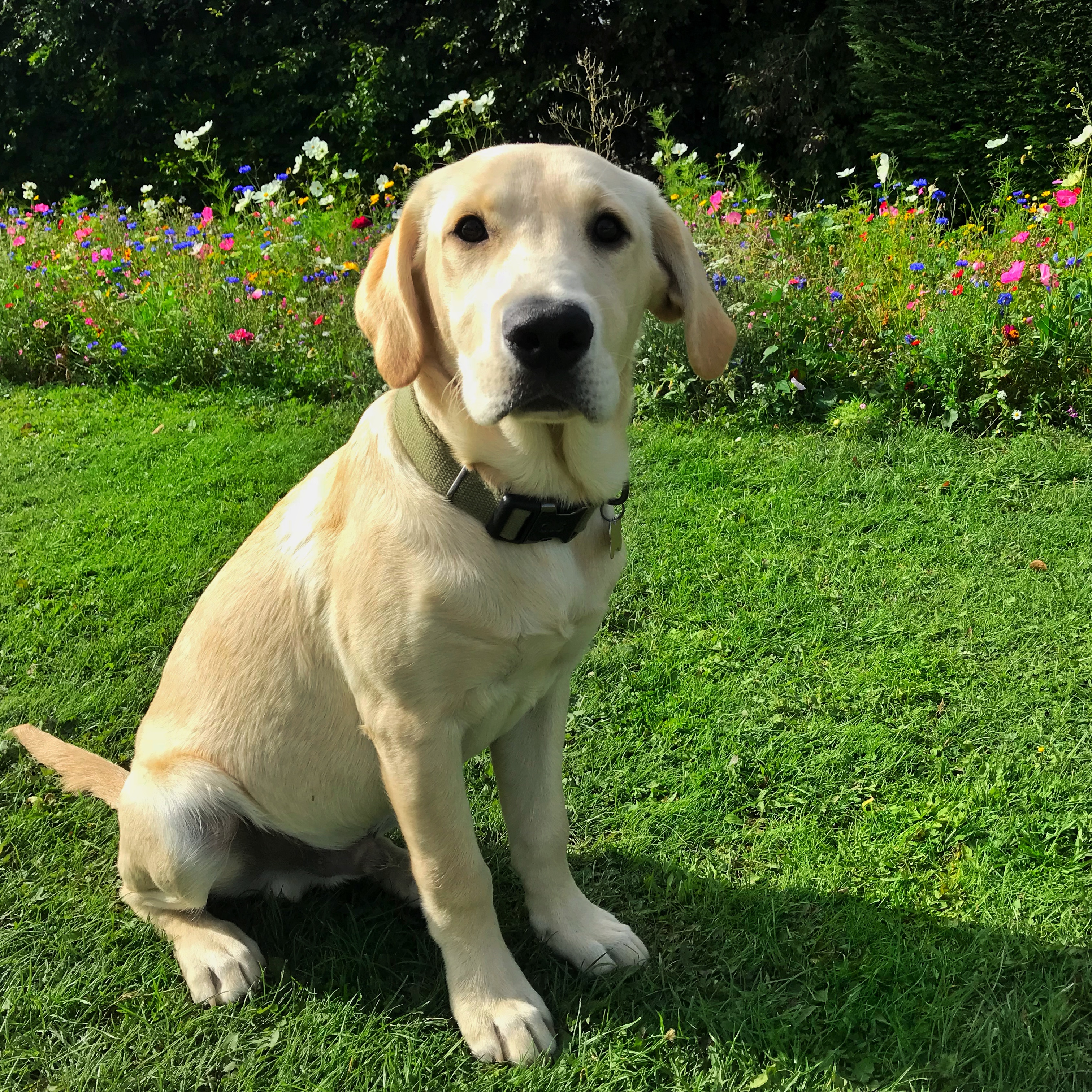 Choosing a puppy. A much bigger yellow labrador Hendrix sitting smartly in front of a border of wild flowers!