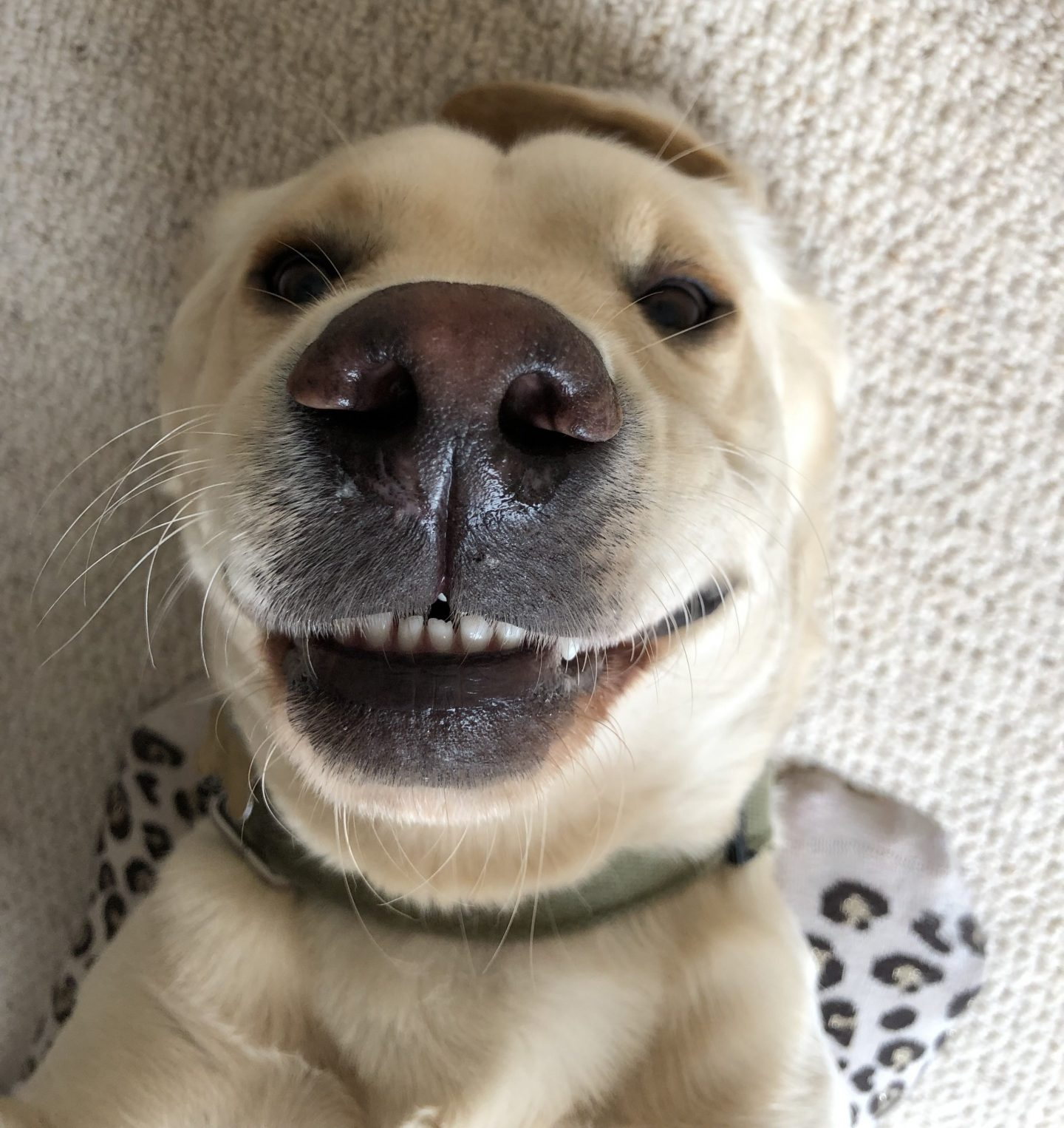 My hilarious Labrador lying on his back with his teeth showing looking like he's grinning at the camera.